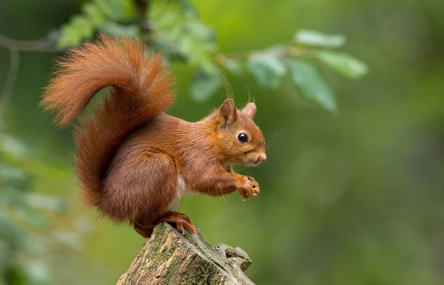 Red_Squirrel_AdobeStock_57198450